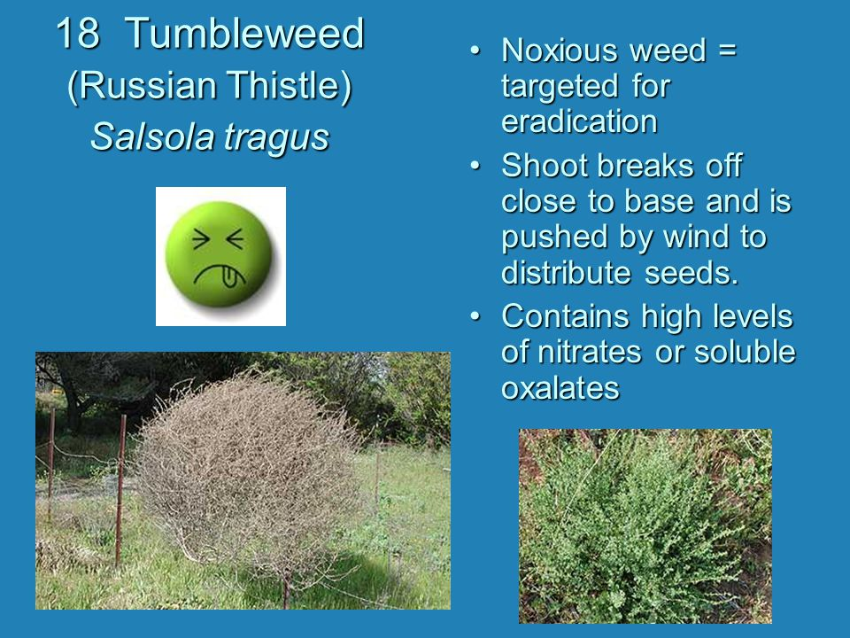 18 Tumbleweed (Russian Thistle) Salsola tragus