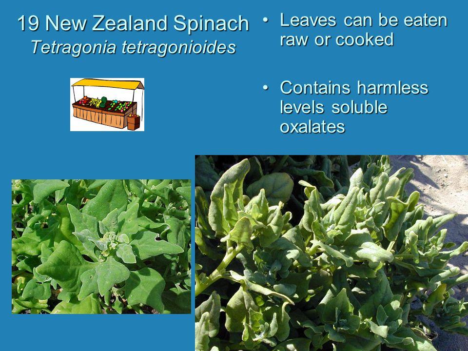19 New Zealand Spinach Tetragonia tetragonioides