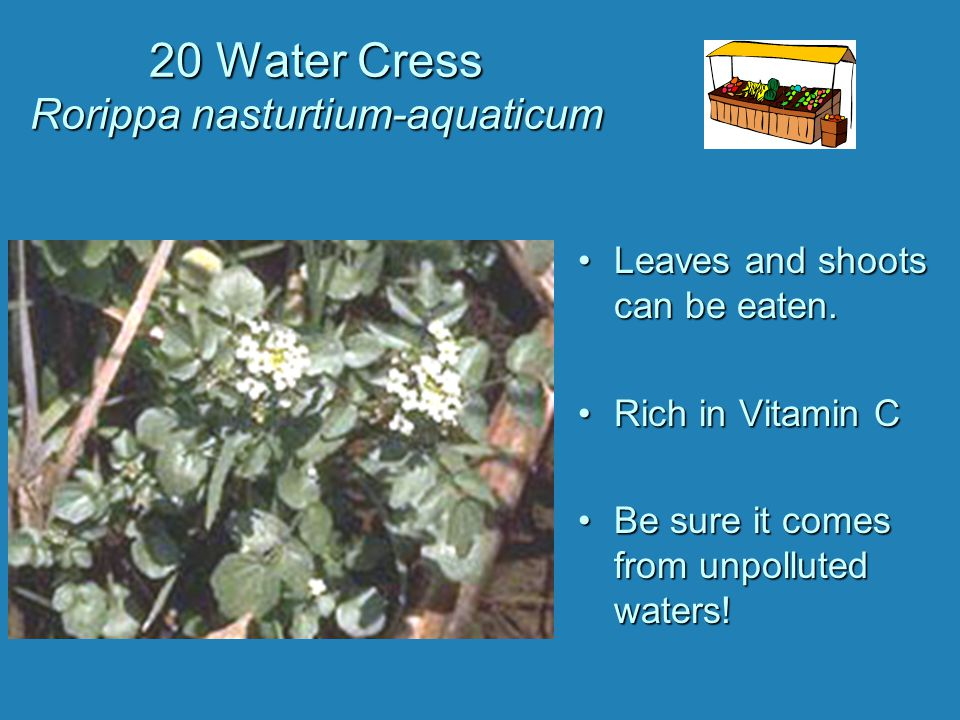 20 Water Cress Rorippa nasturtium-aquaticum