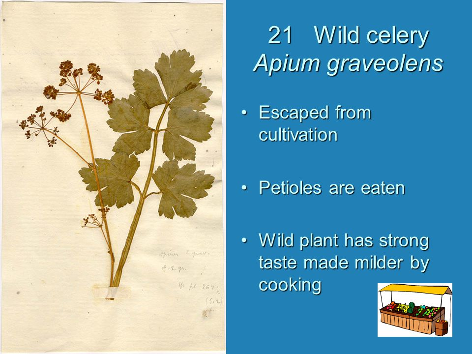 21 Wild celery Apium graveolens