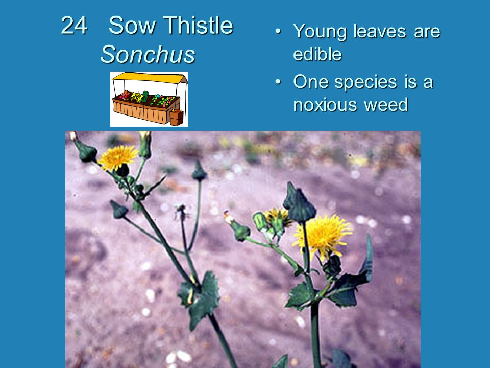 24 Sow Thistle Sonchus Young leaves are edible