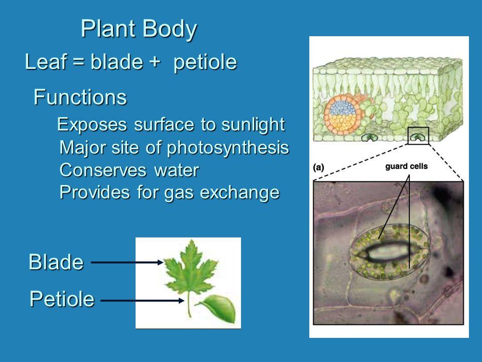 Plant Body Leaf = blade + petiole