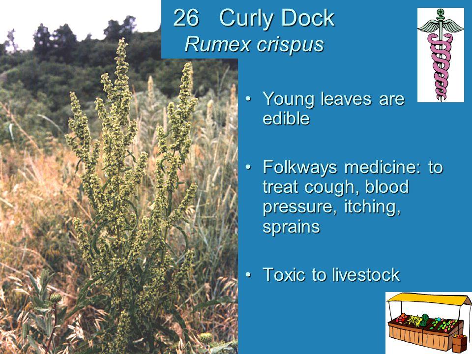 26 Curly Dock Rumex crispus