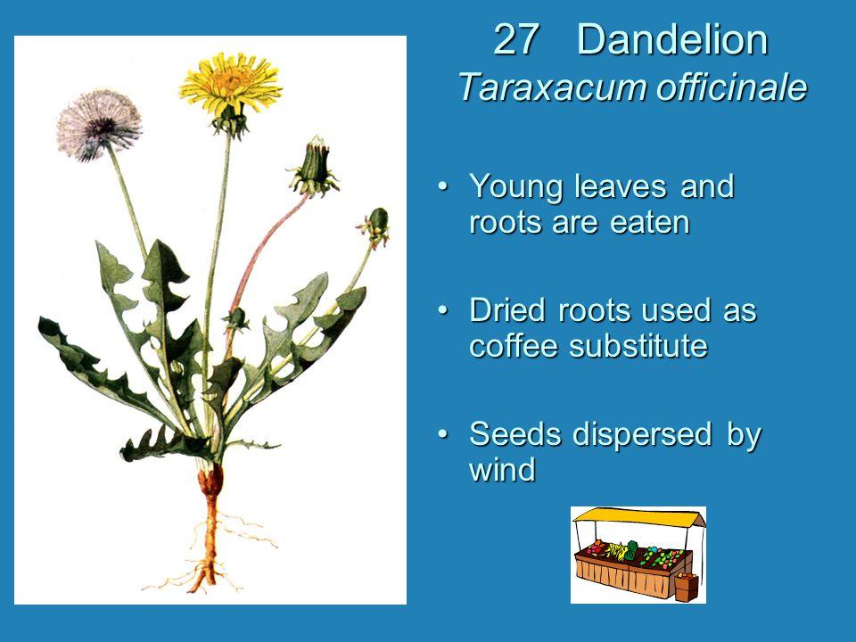 27 Dandelion Taraxacum officinale