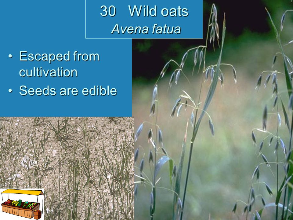 30 Wild oats Avena fatua Escaped from cultivation Seeds are edible