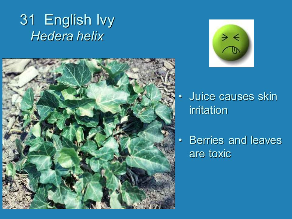 31 English Ivy Hedera helix