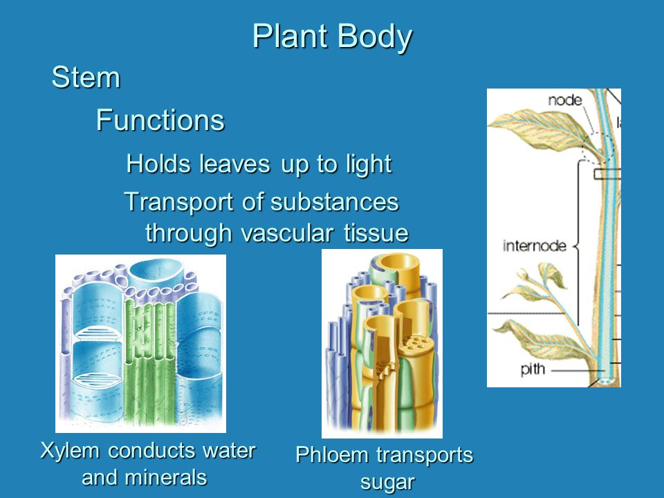Phloem transports sugar