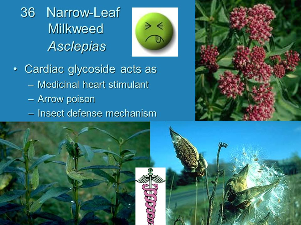 36 Narrow-Leaf Milkweed Asclepias
