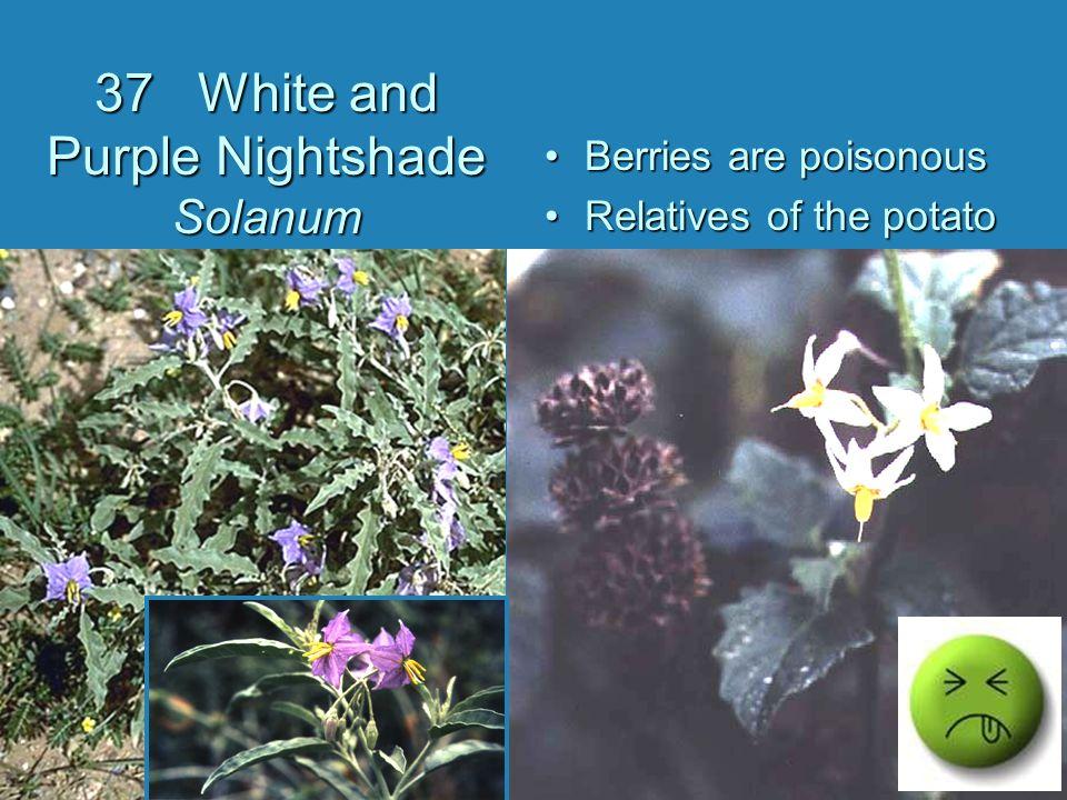 37 White and Purple Nightshade Solanum