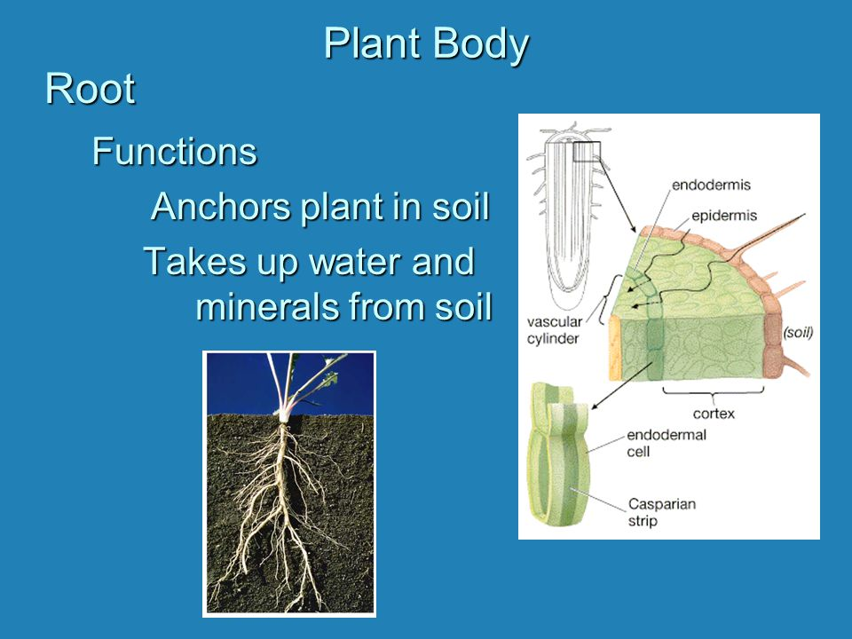 Plant Body Root Functions Anchors plant in soil