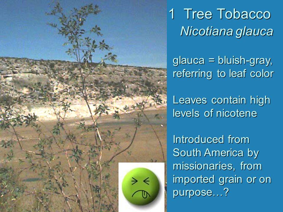1 Tree Tobacco Nicotiana glauca