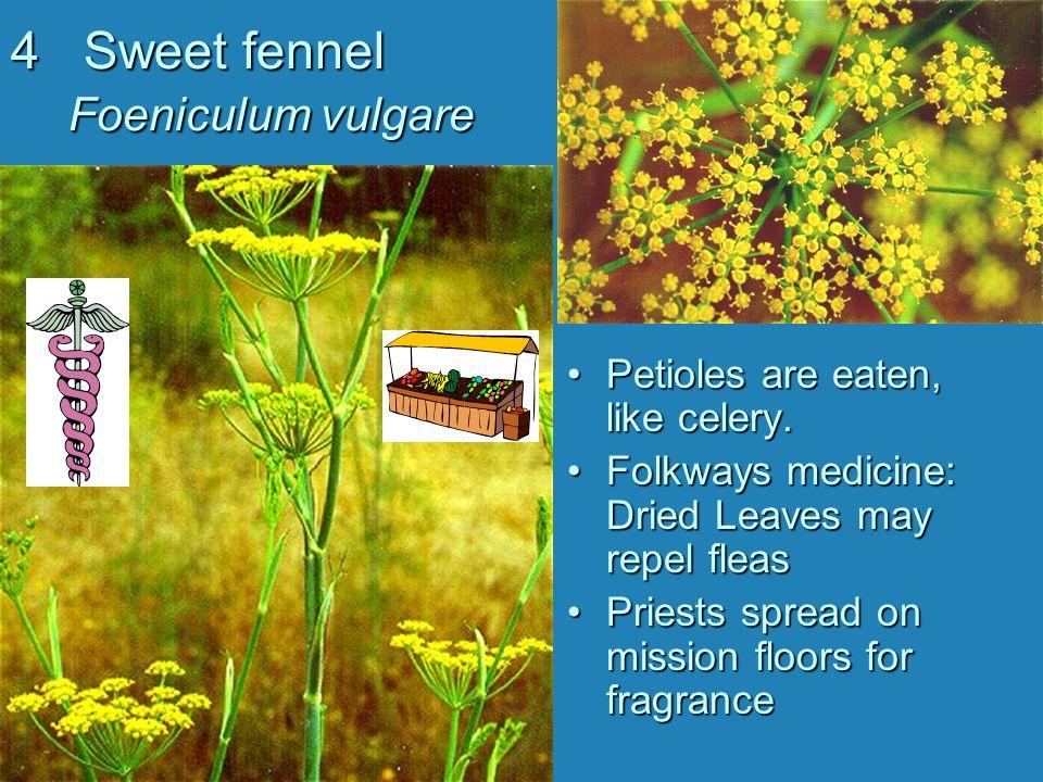 4 Sweet fennel Foeniculum vulgare