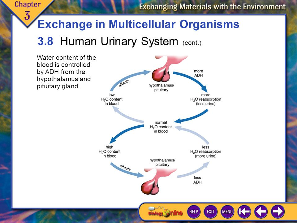 Exchange in Multicellular Organisms 3.8 Human Urinary System (cont.)