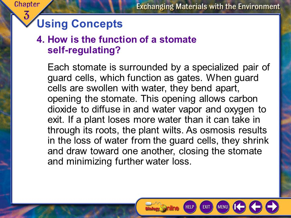 Using Concepts 4. How is the function of a stomate self-regulating