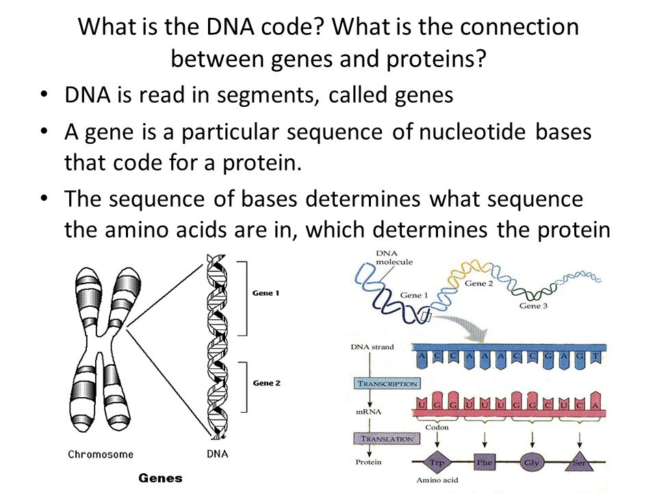 What is the DNA code What is the connection between genes and proteins