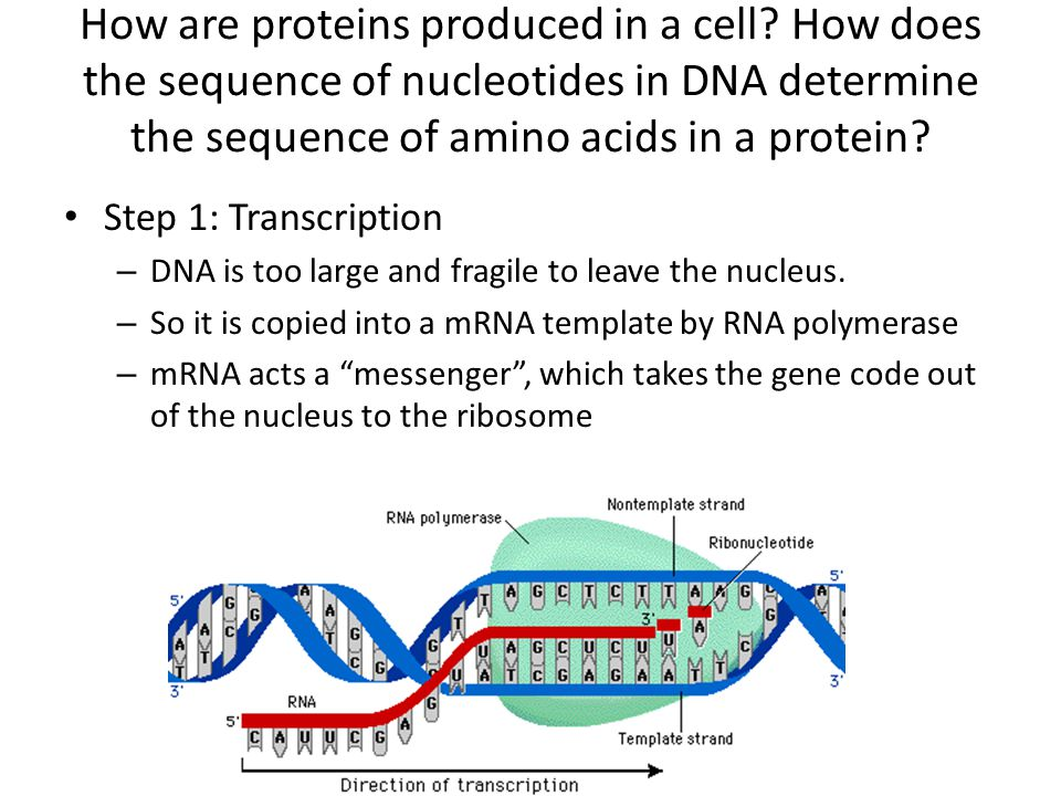 How are proteins produced in a cell