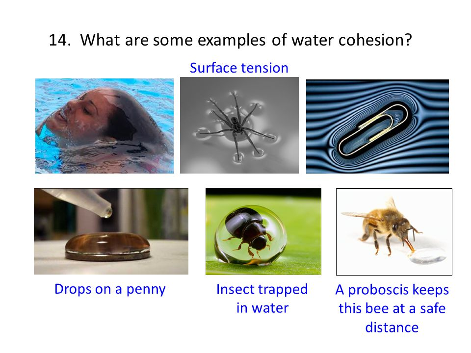 14. What are some examples of water cohesion