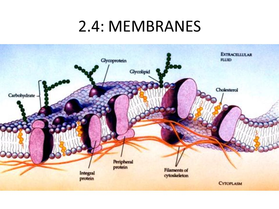 2.4: MEMBRANES