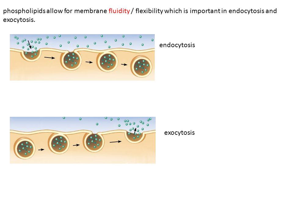 phospholipids allow for membrane fluidity / flexibility which is important in endocytosis and exocytosis.