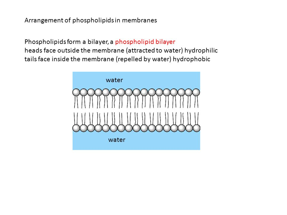 Arrangement of phospholipids in membranes