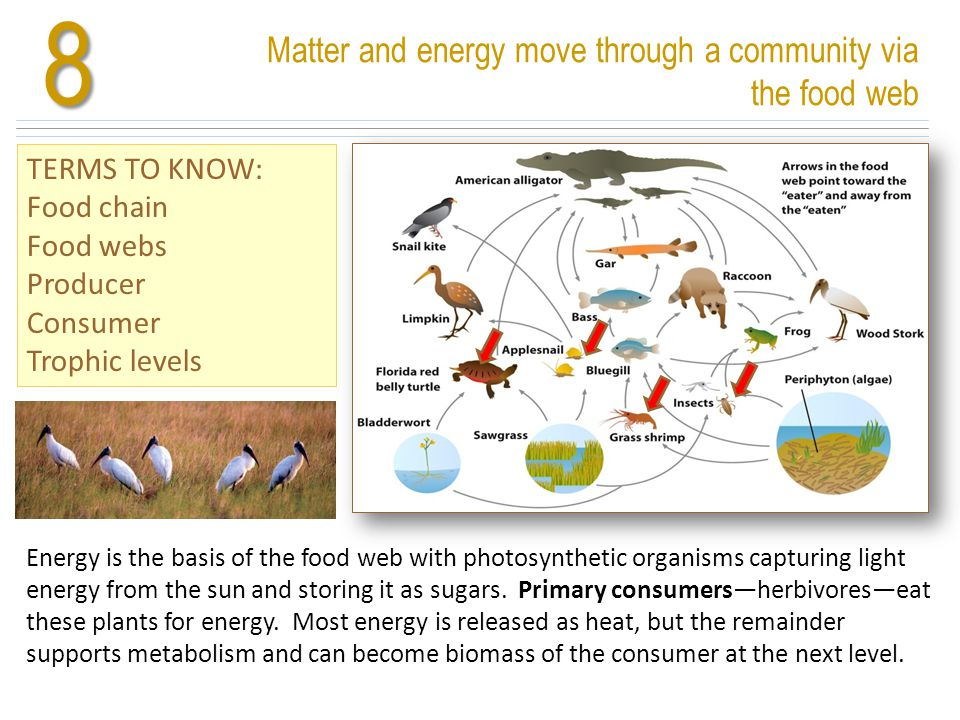 8 Matter and energy move through a community via the food web