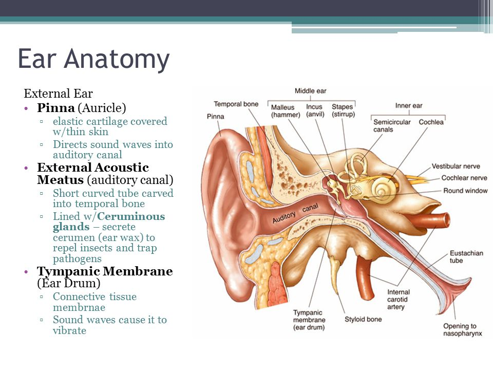 Ear anatomy pinna