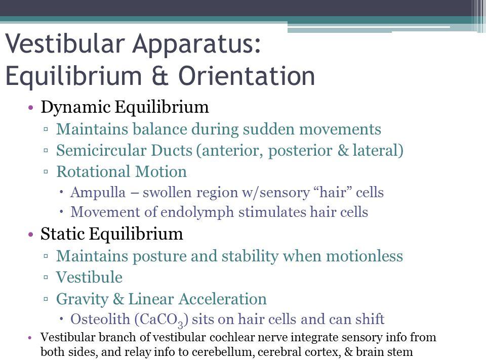 Vestibular Apparatus: Equilibrium & Orientation