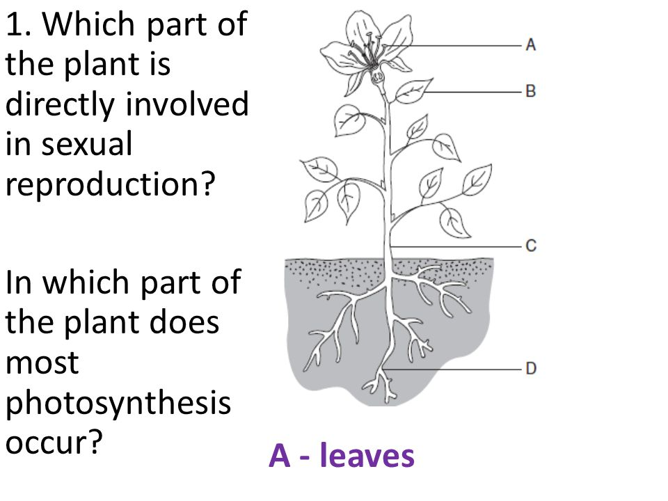 1. Which part of the plant is directly involved in sexual reproduction