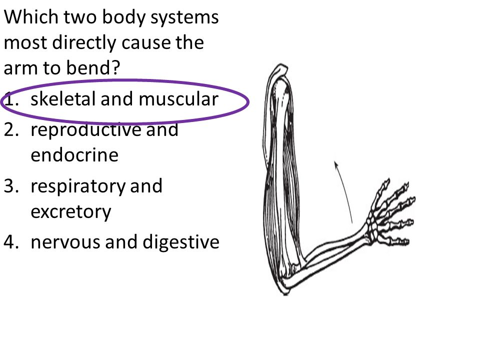 Which two body systems most directly cause the arm to bend
