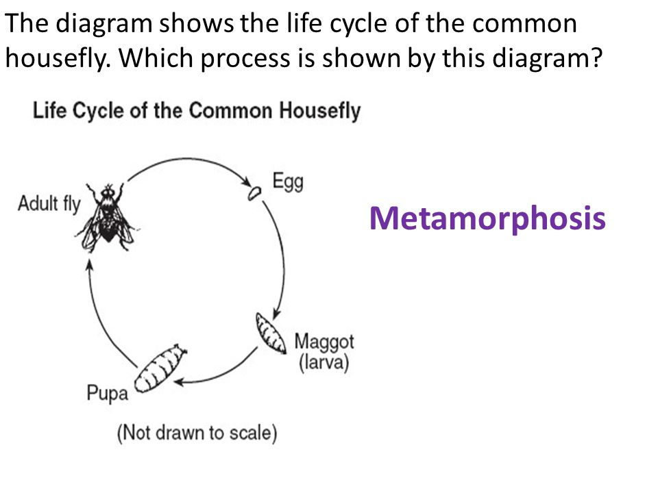 The diagram shows the life cycle of the common housefly
