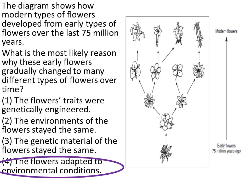 The diagram shows how modern types of flowers developed from early types of flowers over the last 75 million years.