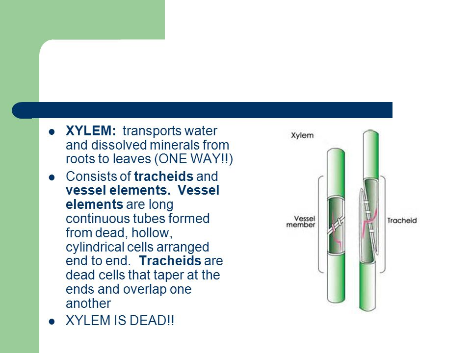 XYLEM: transports water and dissolved minerals from roots to leaves (ONE WAY!!)