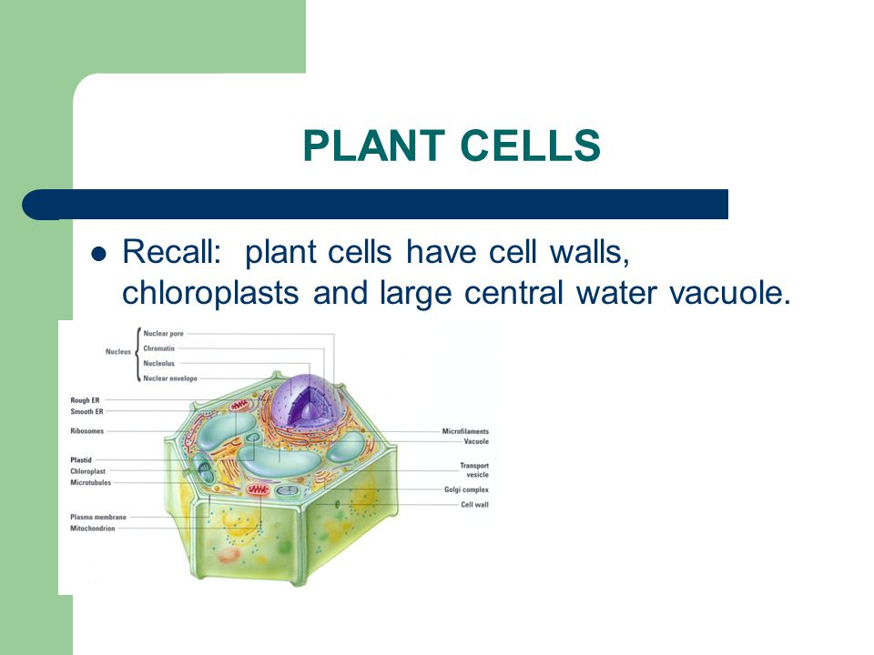PLANT CELLS Recall: plant cells have cell walls, chloroplasts and large central water vacuole.
