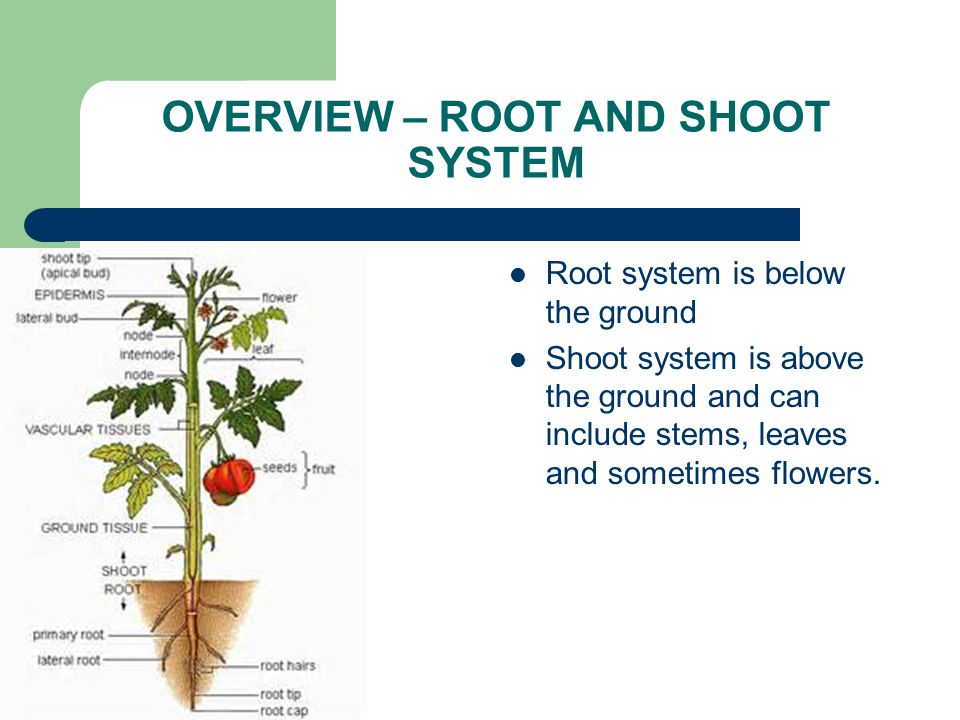 OVERVIEW – ROOT AND SHOOT SYSTEM