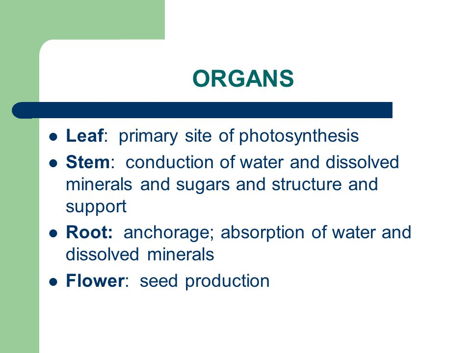 ORGANS Leaf: primary site of photosynthesis