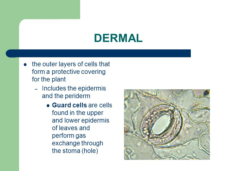 DERMAL the outer layers of cells that form a protective covering for the plant. Includes the epidermis and the periderm.