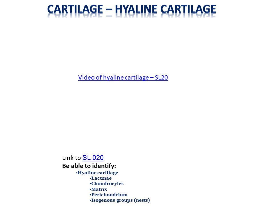 Cartilage – Hyaline cartilage