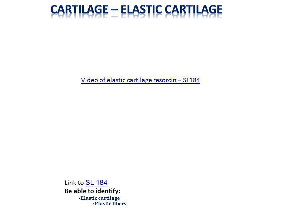Cartilage – Elastic cartilage
