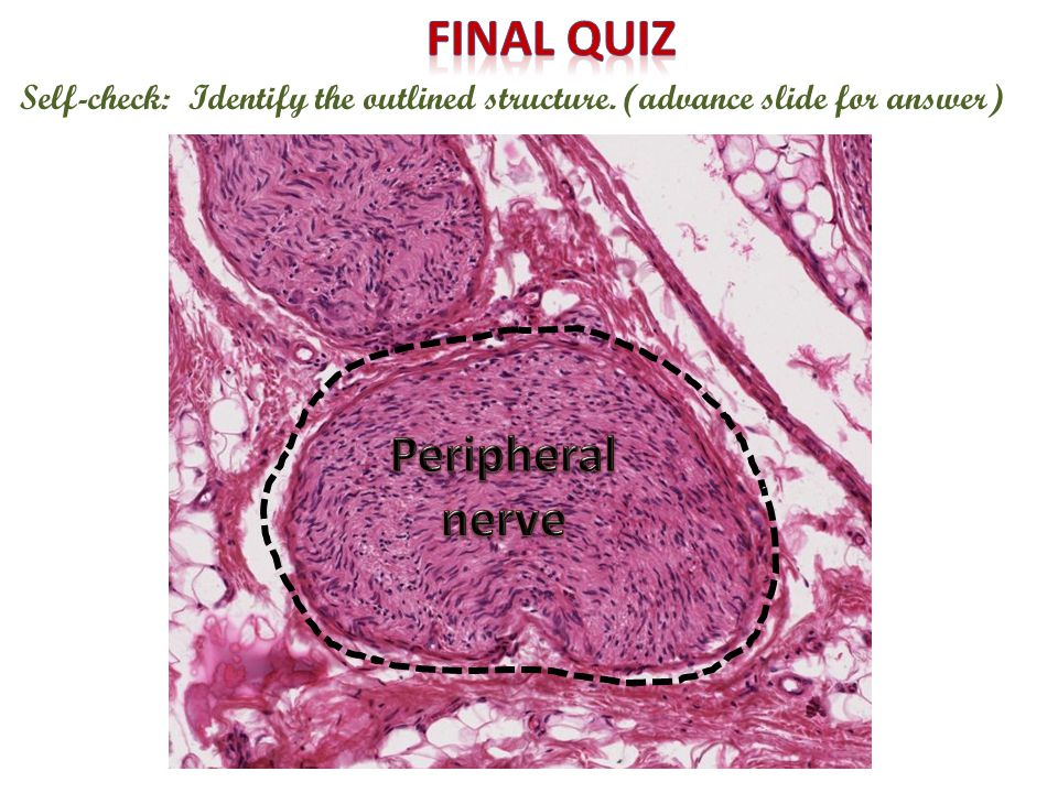 Final quiz Peripheral nerve