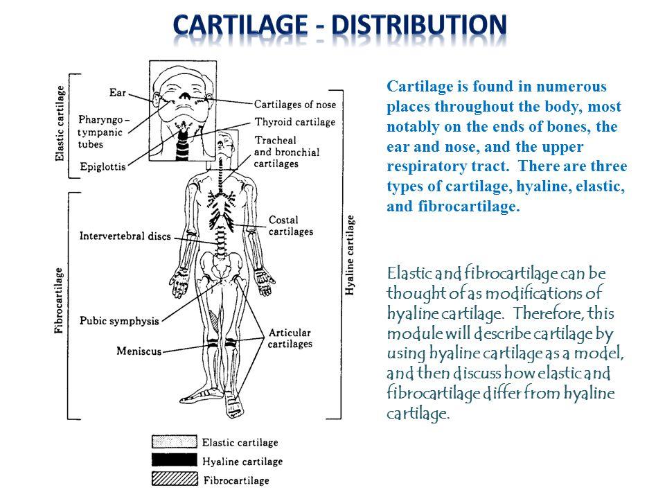 Cartilage - distribution