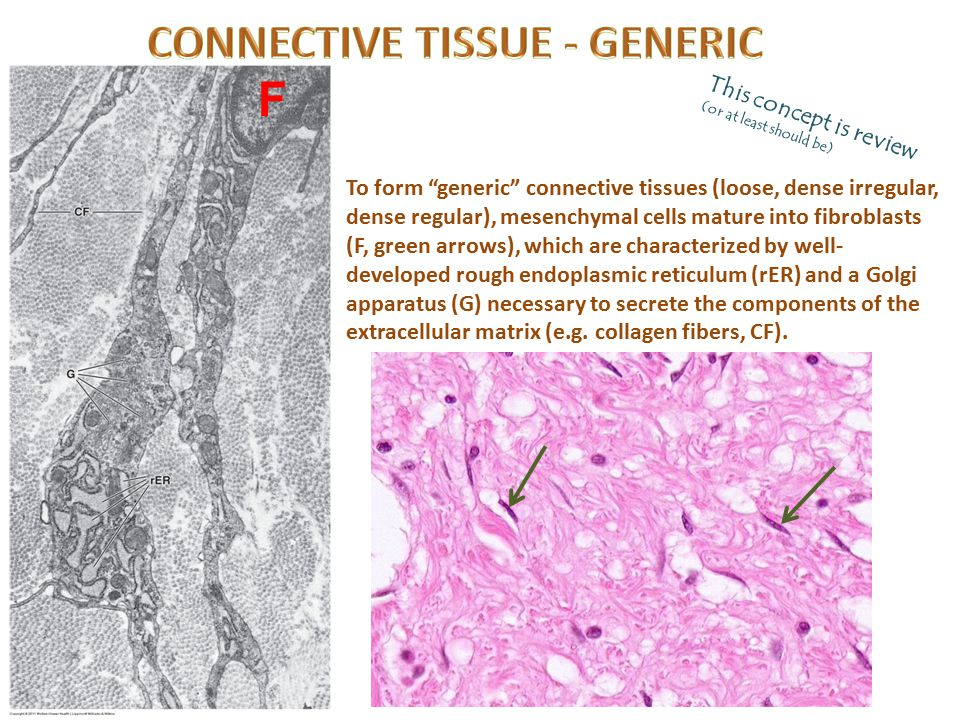 CONNECTIVE TISSUE - GENERIC
