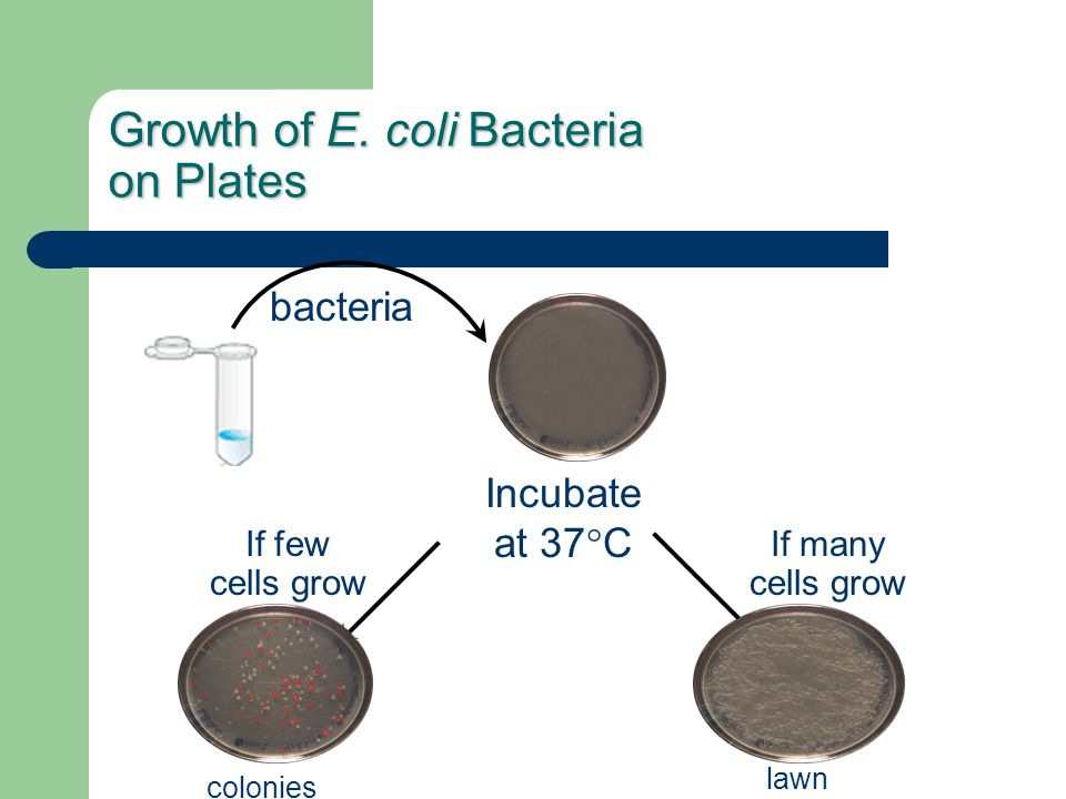 Growth of E. coli Bacteria on Plates
