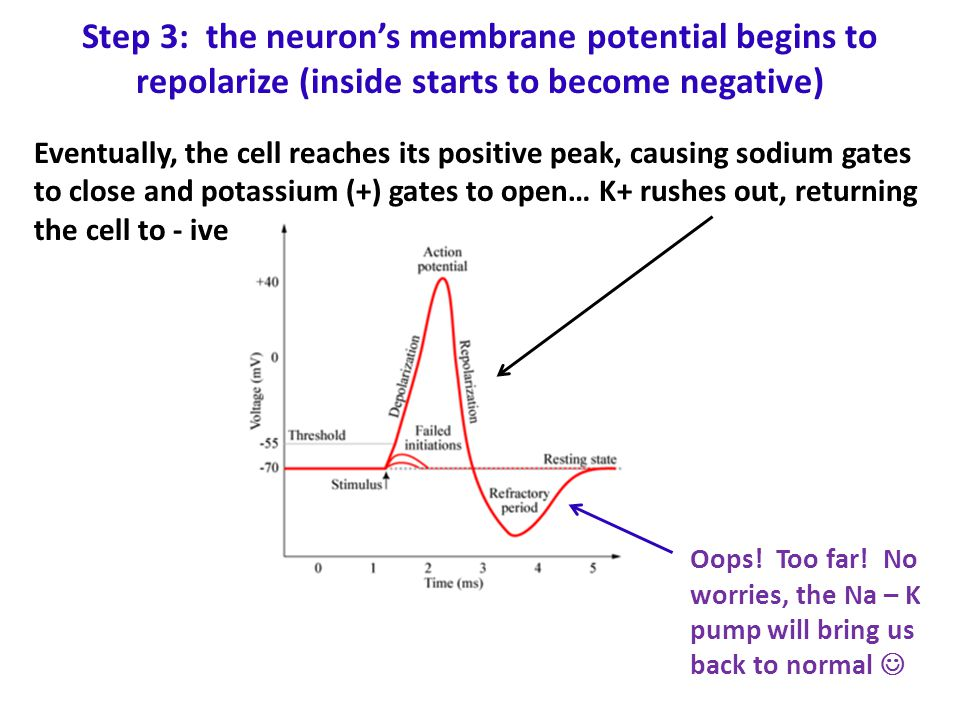 Step 3: the neuron's membrane potential begins to repolarize (inside starts to become negative)