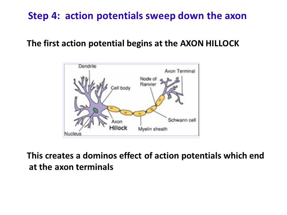 Step 4: action potentials sweep down the axon