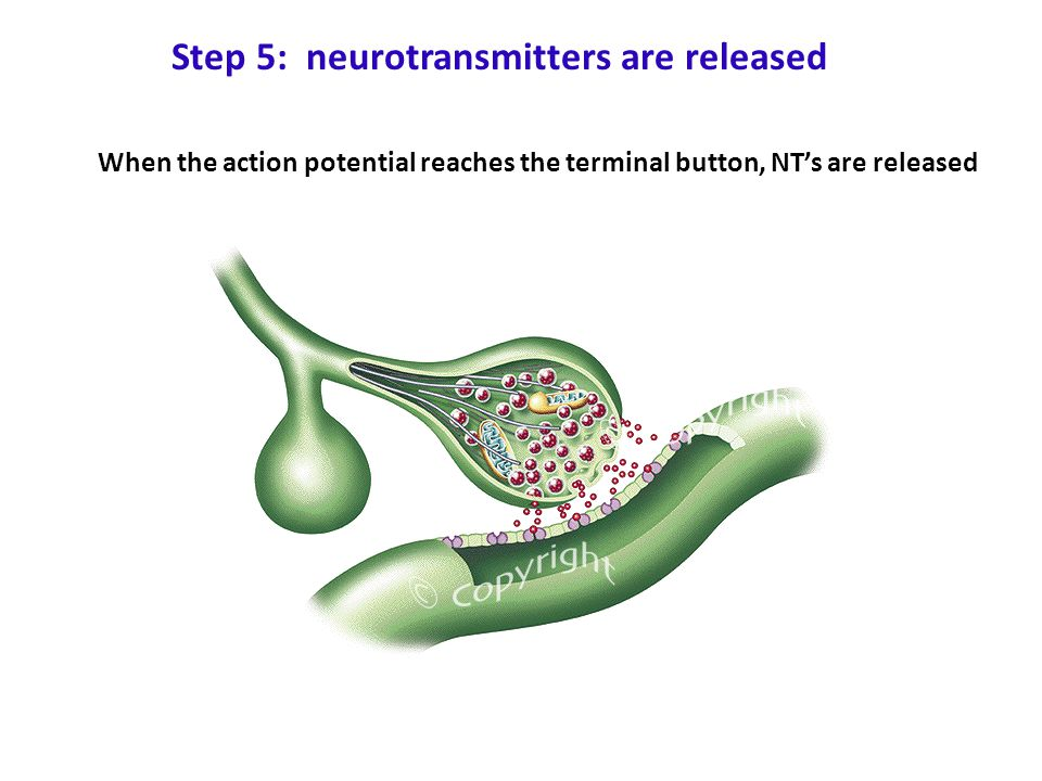 Step 5: neurotransmitters are released