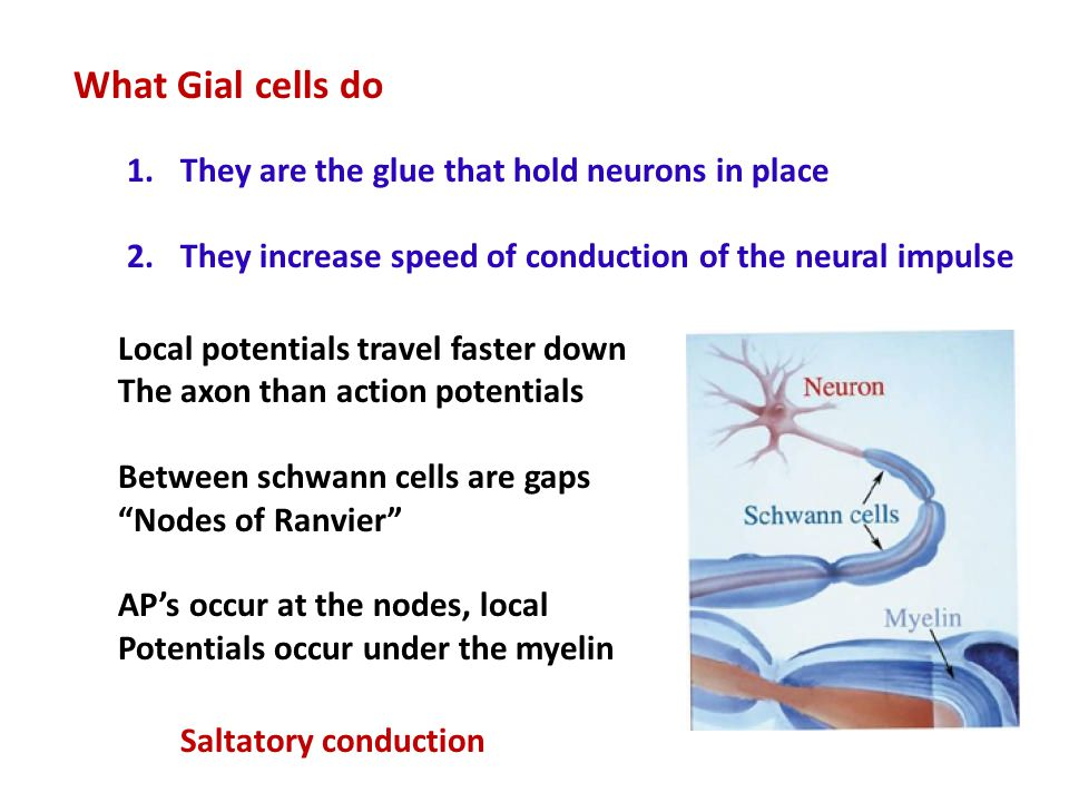 What Gial cells do They are the glue that hold neurons in place