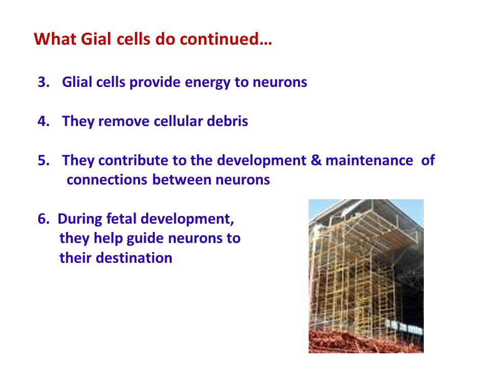What Gial cells do continued…