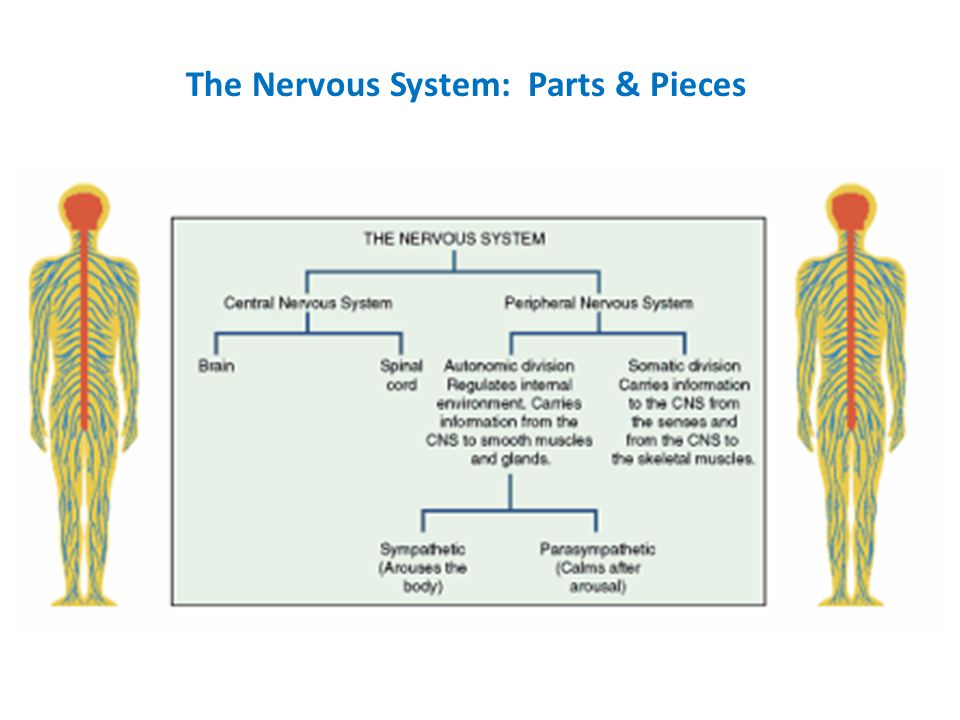 The Nervous System: Parts & Pieces
