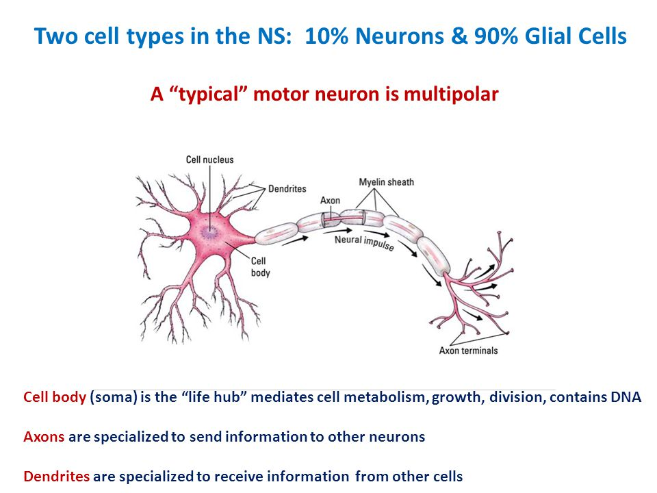 Two cell types in the NS: 10% Neurons & 90% Glial Cells