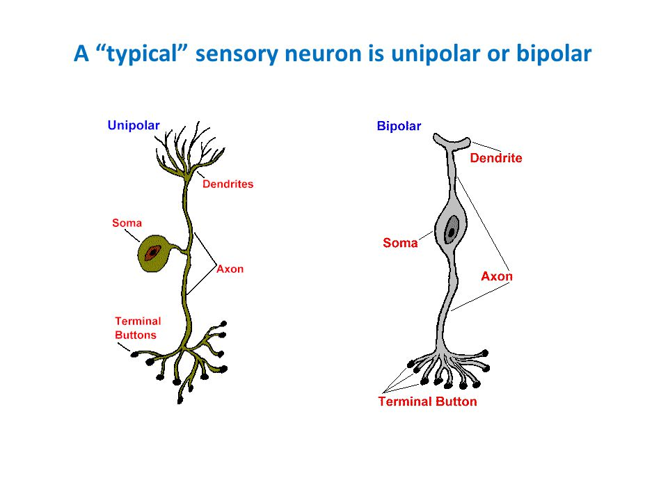 A typical sensory neuron is unipolar or bipolar